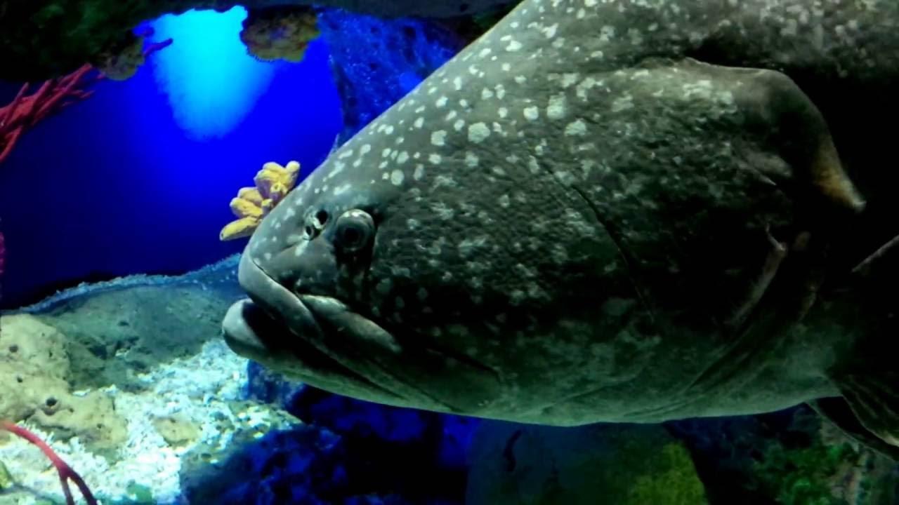Fish tank queensland - Queensland And Goliath Groupers At Ripley S Aquarium Of Canada
