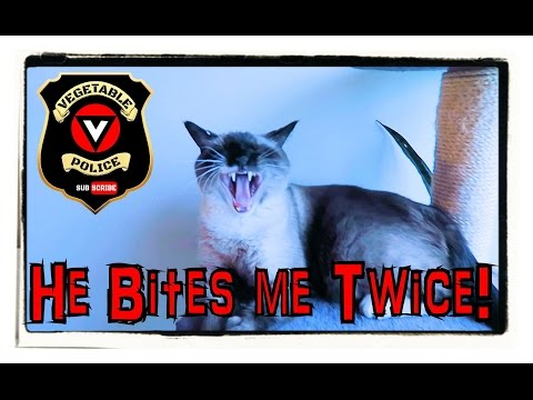 What my Siamese cat does in a day.  Cat vlog