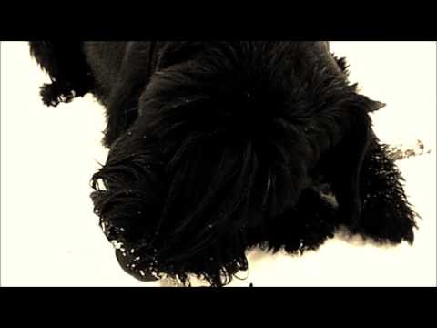 dog breed giant Schnauzer