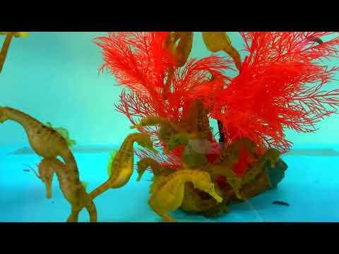 Морские коньки – пришельцы с другой планеты