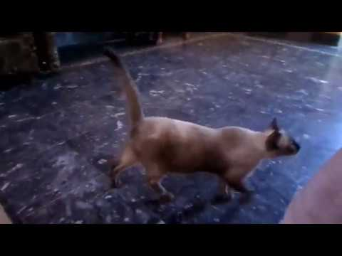 Siamese / Ragdoll Kitten Purring  | My Siamese Cat playing with me at my home | Birds and Animals