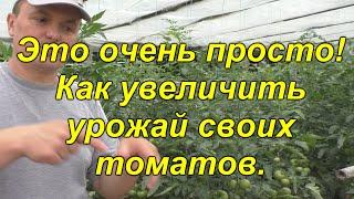 Простой, но ОЧЕНЬ эффективный способ повысить урожай томатов! [проверено!]