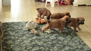 Soft Coated Wheaten Terrier Puppies For Sale David & Rachel Fisher