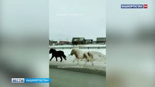 Сбежавшие пони устроили скачки на оживленной трассе в Башкирии: ВИДЕО