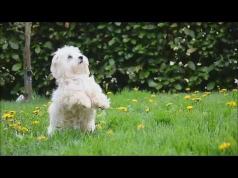 Dog Tricks by Coton de Tulear Isy