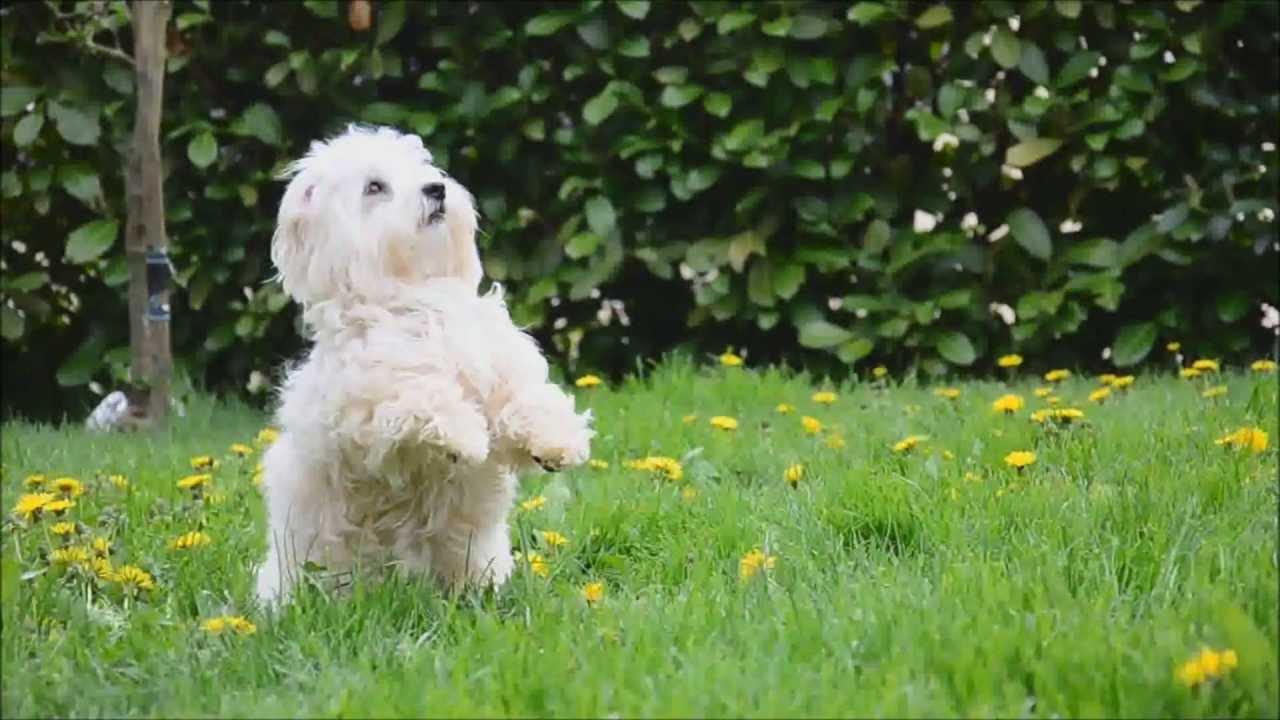dog tricks by coton de tulear isy youtube