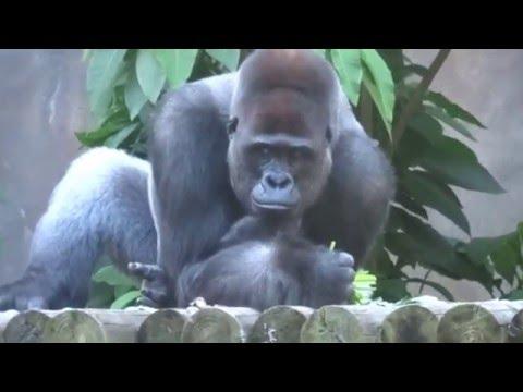 Western Lowland Gorillas with Baby Gorilla Taronga Zoo Sydney Australia - Kibali French Gorilla