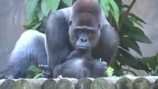 Western Lowland Gorillas with Baby Gorilla Taronga Zoo Sydney Australia