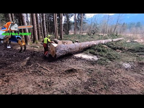 The biggest spruce I've ever cut with the Stihl MS 400 C