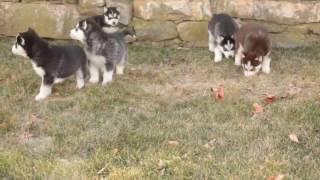 Siberian Husky Puppies For Sale In Kerala