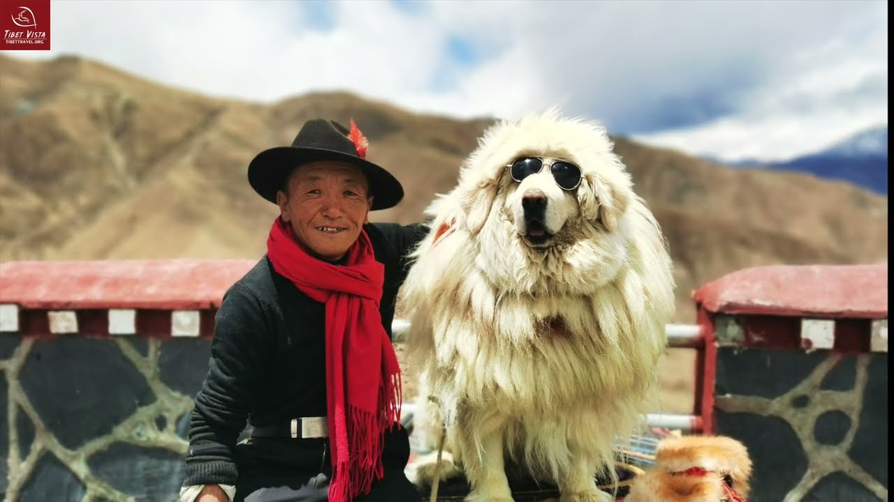 Himalayan Man with the Most Expensive Dog in the World: how is their daily  life? (full documentary) - YouTube