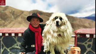 Himalayan Man with the Most Expensive Dog in the World: how is their daily life? (full documentary)