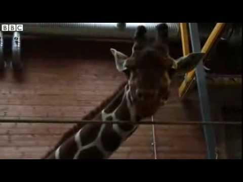 'Surplus' giraffe in 'ethical' row put down at Copenhagen Zoo