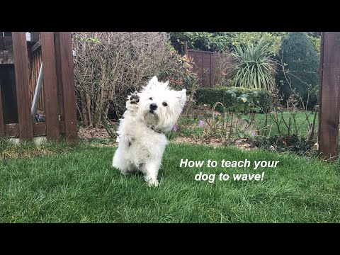 How to teach your dog to wave!