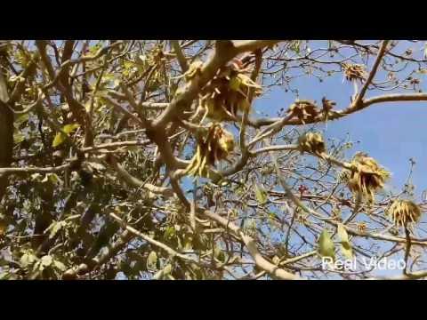 Village Farm Mahua Flower Tree Plant Latest Video 2017