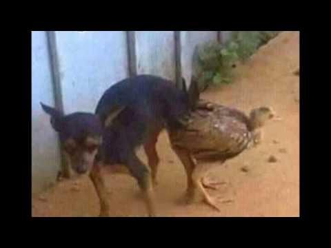 PERRO ATAJADO CON GALLINA(aberraciones animales)