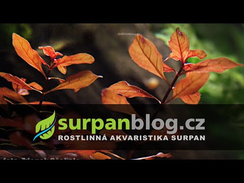 Ludwigia Sp. Red