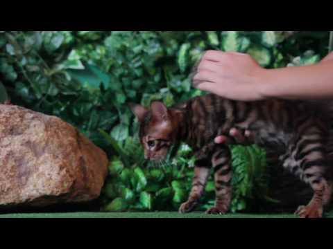 SUPERSHOW toyger kitten male of BRINDLE WAY Toygers Cattery