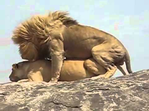 Lions mating in the Serengeti