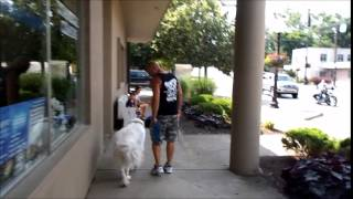 Great Pyrenees Vesper Showing Her New Social Skills At Cincinnati Dog Trainers Off Leash K9