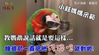 教鸚鵡說話~就是要在睡覺前陪他碎碎唸!『小鈺媽媽u0026阿迪仔示範』