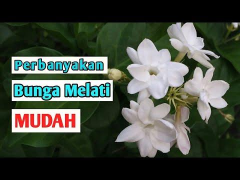 Cara Stek Bunga Melati Budidaya Bunga Melati Putih Menanam Bunga Melati Dirumah Yuktani Melati Youtube