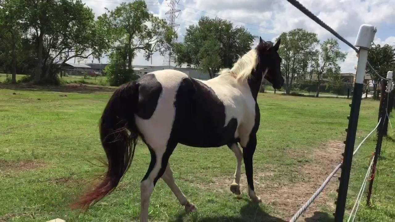 Our Dark Brown And White Paint Horse Beauty Loping