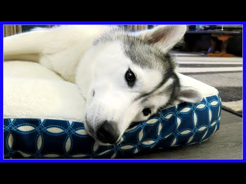 SPRING CLEANING WITH THE HUSKIES | Clean your dogs things!