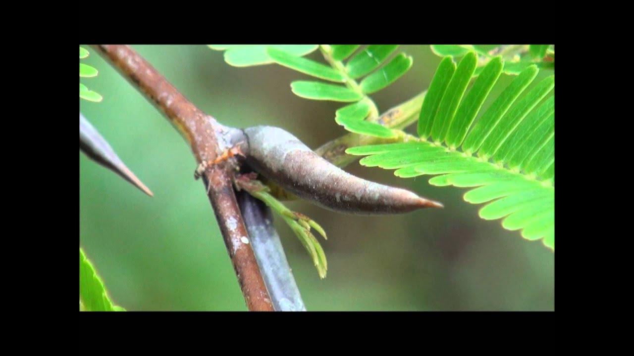 The Bodyguard Ipseudomyrmexi Ants Protecting Bullhorn Acacias
