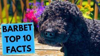 Barbet  TOP 10 Interesting Facts