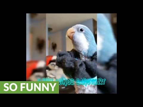 Silly parrot humorously makes burping noises