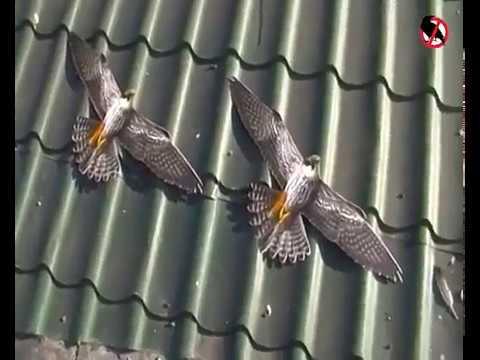 Визуальные отпугиватели птиц - youtube.