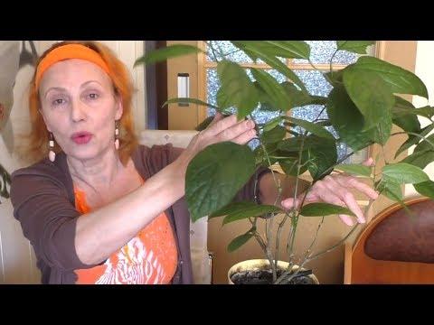 Клеродендрум госпожи Томпсон. Уход, обрезка, формирование кроны. Комнатные растения Clerodéndrum