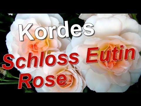 Schloss Eutin Rose, Kordes, Modern Shrub