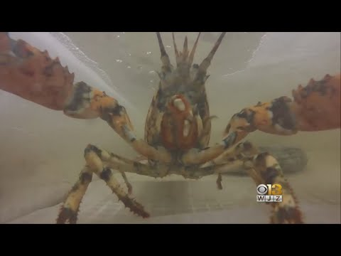 Pet Central - Rare Calico Lobster Rescued at the Maryland Shore