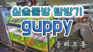 [GUPPY]구피 알아보자!-심술물방 탐방기#3 플레코존영상(pleco zone)