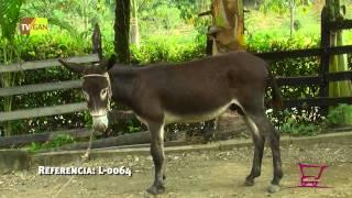 2015:BURRO EN PROCESO DE ADIESTRAMIENTO, CIUDAD BOLIVAR, ANTIOQUIA, L-0064