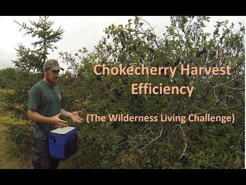 Chokecherry Harvest Efficiency (The Wilderness Living Challenge)