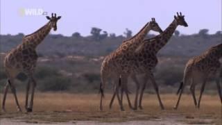 Ночь льва   Классный фильм National Geographic документальные фильмы о животных