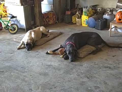Great Dane & Mastiff playing tug of war cute dogs
