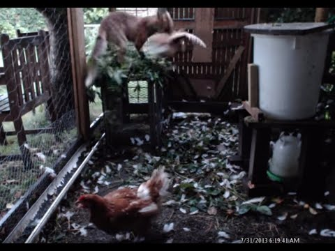 how to stop a smelly chook run
