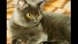 Британский кот. Вязка.