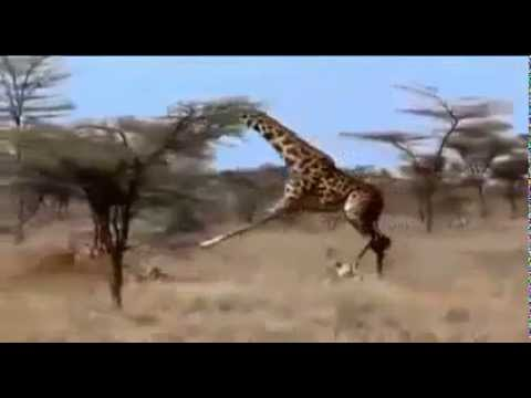 Thumbnail: giraffe vs 3 lions graffe win!!!