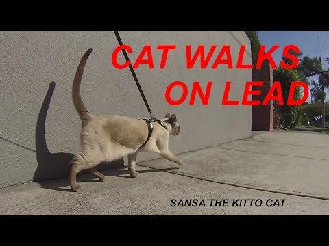 Cat Walks On Lead