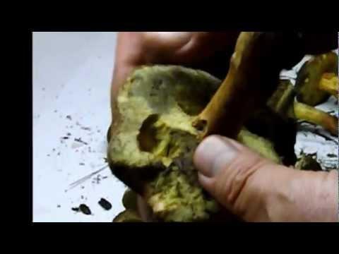 Дождевик грушевидный (Lycoperdon pyriforme). Съедобный