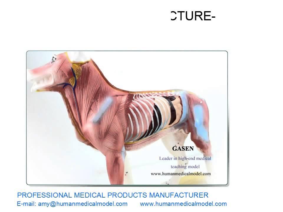 Vistoso Colorado State Anatomía Canina Molde - Anatomía de Las ...