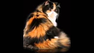 Персидская порода /Persian breed
