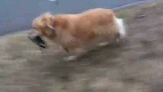 Golden Retriever Walking Herself