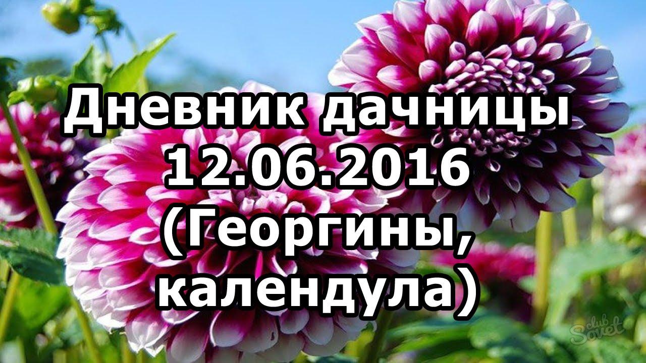 Дневник дачницы 12.06.2016 (георгины, календула)