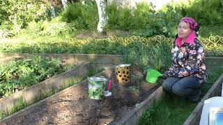 Высаживаем томаты в грунт правильно